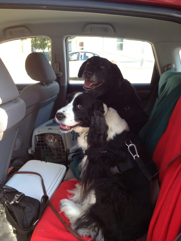 Dogs in car harnesses