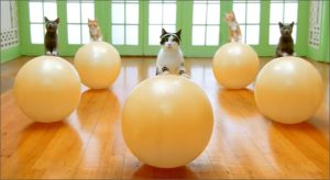 Cats standing with exercise balls
