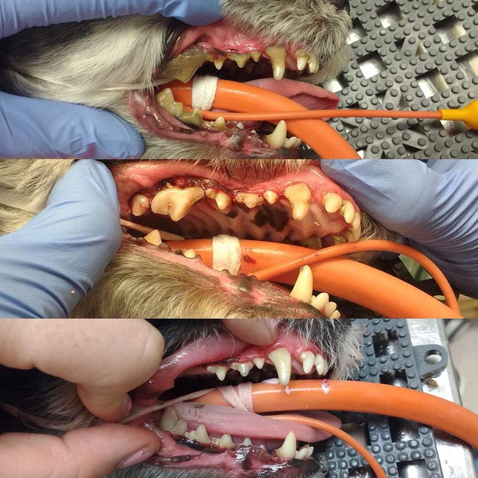 Russel the dog's teeth before, during and after a dental procedure