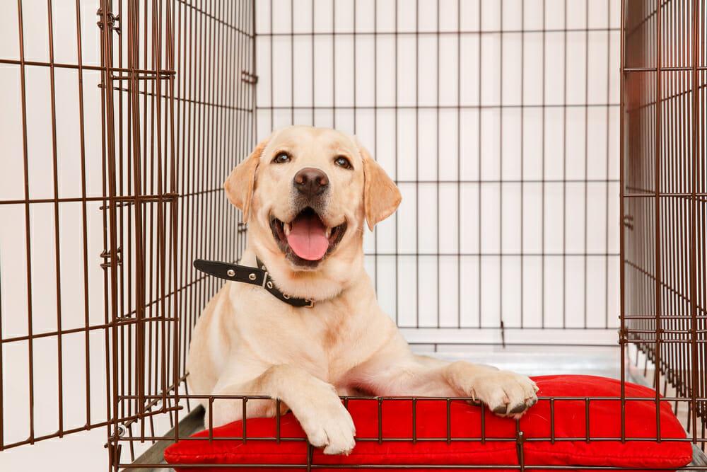 Labrador Retriever puppy in crate