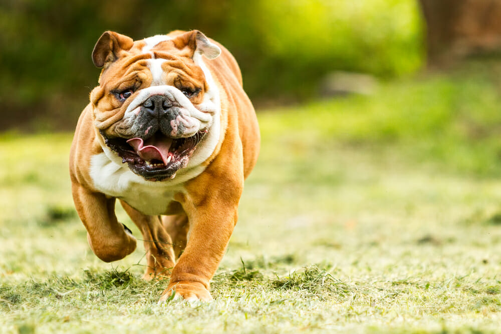 A bulldog running on grass