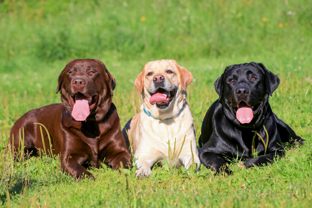 Three Labrador Retrievers lying on grass